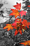 White Red And Yellow Framed Prints - Autumn on Black and White Framed Print by Kaye Menner