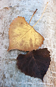 Brown Leaf Prints - Autumn Poplar Leaves Print by The Forests Edge Photography