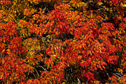 Autumn Leaf Posters - Autumn red Poster by Garry Gay