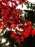 Red Leaves Photos - Autumn Red by Jeff Breiman