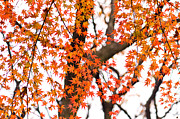 Garden Scene Metal Prints - Autumn red leaves on a tree   Metal Print by Ulrich Schade