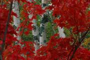 Chromatic Contrasts Photos - Autumn Red Maple Leave Frame by Medford Taylor