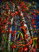Prescott Framed Prints - Autumn Reds Up the Tree Framed Print by Aaron Burrows