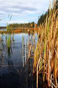Prince Albert National Park Photos - Autumn Reeds by Larry Ricker