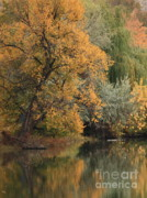 Calm Water Reflection Posters - Autumn Riverbank Poster by Carol Groenen