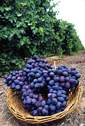 Grape Vineyard Prints - Autumn Royal Grape Print by Photo Researchers