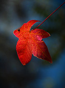 Red Leaf Posters - Autumn Signature Poster by Heather Thorning