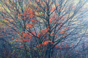 Autumn Sugar Maple In Fog Print by Thomas R Fletcher