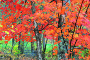 Mountain Stream Photo Posters - Autumn Sugar Maple Poster by Thomas R Fletcher