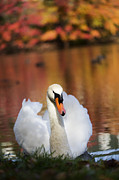 Leda Photography Prints - Autumn Swan Print by Leslie Leda