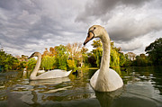 Swans Art - Autumn Swans by Mircea Costina Photography