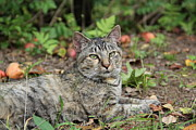 Donna Bosela - Autumn Tabby Cat #2