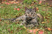 Donna Bosela - Autumn Tabby Cat