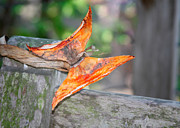 Weathered Metal Prints - Autumn - the years loveliest smile Metal Print by Christine Till
