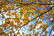 Fall Leaves Posters - Autumn tree branches Poster by Elena Elisseeva