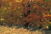 Dappled Light Photos - Autumn Tree by David Chapman