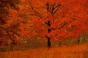 Featured Art - Autumn Tree With Red Foliage by Comstock