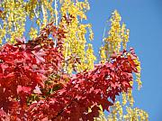 Red Leaves Photos - AUTUMN TREES Red Yellow Fall Tree Blue Sky Landsape by Baslee Troutman Fine Art Collections