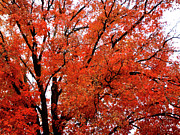 Indiana Autumn Posters - Autumn Treetop Poster by Veronica Wiggins