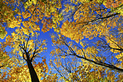 Sunlight Metal Prints - Autumn treetops Metal Print by Elena Elisseeva