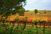 Vines Prints - Autumn Vines Print by Douglas Barnard