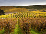 Vineyards Photo Posters - Autumn Vines Poster by Mike  Dawson