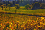 Grapevines Photo Posters - Autumn vineyards Poster by Garry Gay