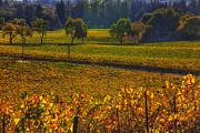 Autumn Vineyards Print by Garry Gay