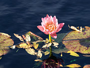 Water Lilies Framed Prints Prints - Autumn Water Lily Print by Dick Jones