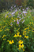 Black Eye Susan Prints - Autumn Wildflowers - D007762 Print by Daniel Dempster