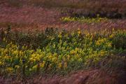 Goldenrod Flowers Prints - Autumn Wind Blowing Golden Rod Print by Jim Richardson
