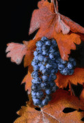 Merlot Prints - Autumn Wine Grapes Print by Floyd Hopper