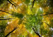 Trees Prints - Autumnal Display Print by David Bowman