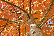 Maryjane Armstrong Framed Prints - Autumns Canopy Framed Print by MaryJane Armstrong