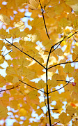 Blue And Brown Photos - Autumns Golden Leaves by Jennie Marie Schell