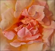 Nectar Framed Prints - Autumns Rose Framed Print by Gwyn Newcombe