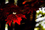 Backlit Leaf Prints - Autumns Scarlet Leaf Print by Darlene Bell