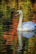 Connecticut Wildlife Posters - Autumns Swan Poster by Karol  Livote