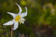 Avalanche Lily Print by Sean Griffin