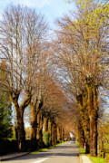 Midi Prints - Avenue of trees Print by Rod Jones