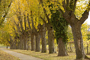 Autumn Colours Photos - Avenue with black poplar trees in autumn by Matthias Hauser