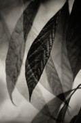 Photo Collage Prints - Avocado Leaves Print by Bonnie Bruno