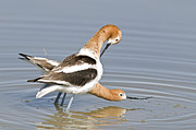 Matting Photo Posters - Avocets couple Poster by Earl Nelson
