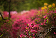 �rhodies Flowers� Prints - Awaiting Print by Mike Reid