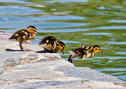 Baby Mallards Posters - Awaiting takeoff Poster by Rick Mutaw