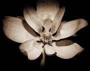 Subtle Framed Prints - Awakening Magnolia Framed Print by George Oze