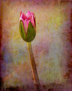Impressionism Photos - Awakening Water Lily by Judi Bagwell