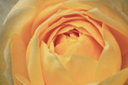 Mp-e65 Posters - Awakening Yellow Bare Root Rose Poster by Ryan Kelly
