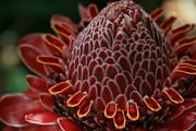 Awapuhi Ko Okoo - Torch Ginger - Etlingera Elatior  - Phaeomeria Magnifica - Hoolawa Liilii Hawaii Print by Sharon Mau