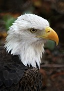 Eagle Metal Prints - Awesome American Bald Eagle Metal Print by Sabrina L Ryan